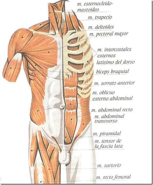 Imágenes del Cuerpo Humano: partes, órganos, huesos y