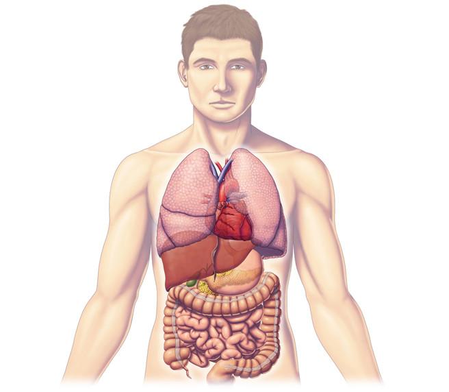 Im genes del cuerpo humano partes rganos huesos y for En k parte del cuerpo estan los rinones