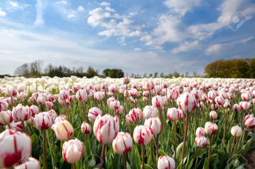 Dutch white and red tulips in sunshine, Holland