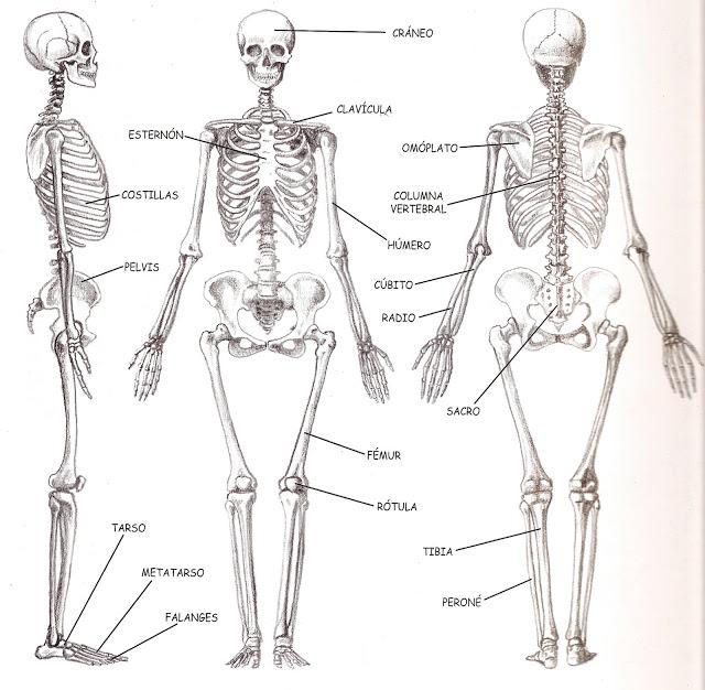 im u00e1genes del cuerpo humano  partes   u00f3rganos  huesos y