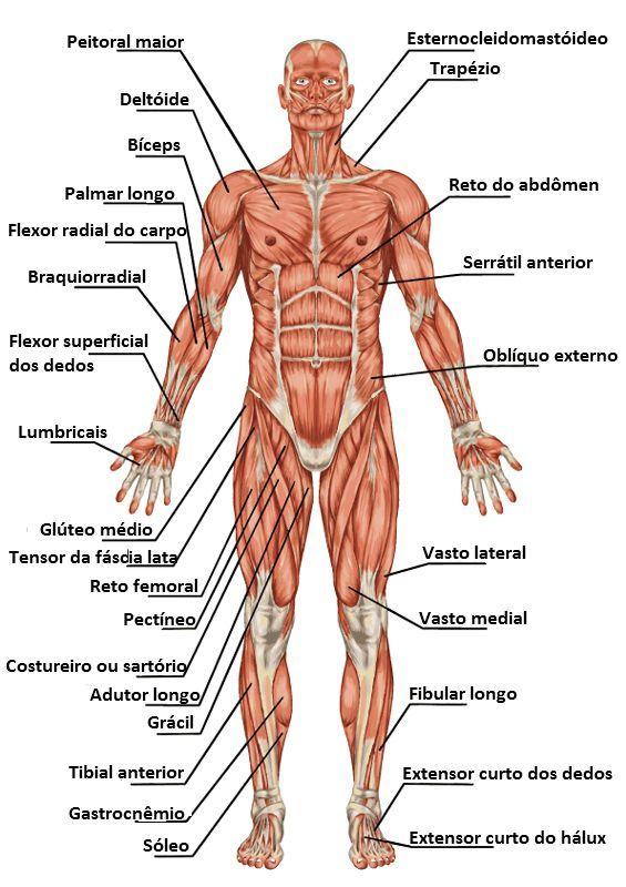 Imágenes del Cuerpo Humano: partes, órganos, huesos y músculos ...