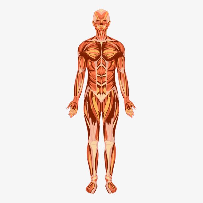 Músculos del Cuerpo Humano » Tipos, Nombres y Funciones | Todo imágenes