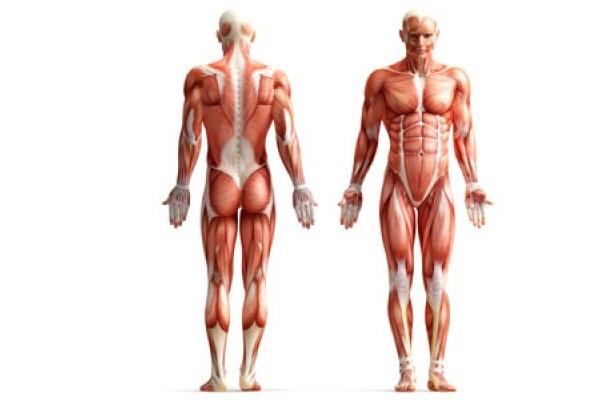 Órganos del Cuerpo Humano » Funciones, Características, Enfermedades ...