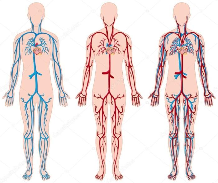 Órganos Del Cuerpo Humano » Funciones, Características