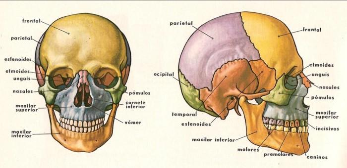 Sistema Óseo » Huesos, Funciones y Características | Todo imágenes