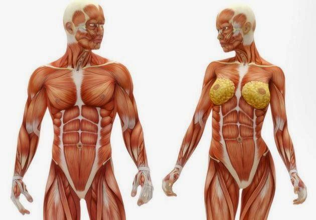 Los principales musculos del cuerpo humano y su funcion